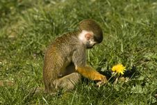 Free Little Monkey With Flower Stock Images - 2969874