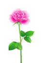 Free Rose - Vector Illustration Stock Images - 29606294
