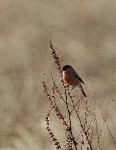 Bullfinch. Royalty Free Stock Photography