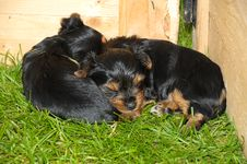 Free Yorkshire Terrier Puppy Stock Photo - 29609780