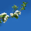 Free Blossoming Apple-tree Stock Image - 29616781