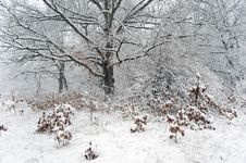 Free Oak Forest In Snowstorm Stock Photos - 29611383
