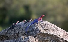 Free Colorful Lizards, Tanzania Royalty Free Stock Photography - 29612417