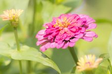 Free Zinnia Flower Royalty Free Stock Photography - 29613917