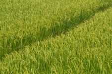 Free Rice Field Stock Image - 29616711