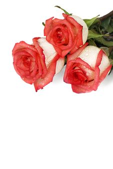 Free Roses With Dew Drops Stock Images - 29616734
