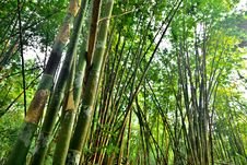 Free Bamboo Forest Royalty Free Stock Images - 29617619