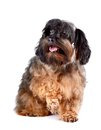 Free Small Shaggy Decorative Doggie Stock Images - 29624964