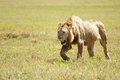 Free Lion Prowling Savannah Stock Images - 29626844