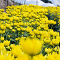 Free Yellow Chrysanthemum Farm Stock Photo - 29627210