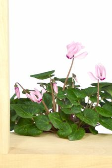 Free Cyclamen Stock Photography - 29621742
