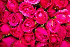 Free Red Rose Stock Image - 29624111