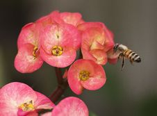 Free Bee Flying Towards Ixora Flower Royalty Free Stock Photos - 29626348