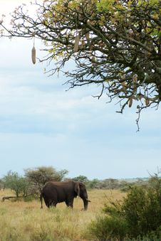 African Elephant Under Sausage Tree Royalty Free Stock Photos