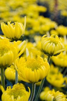 Free Yellow Chrysanthemum Close Up Royalty Free Stock Photos - 29627138