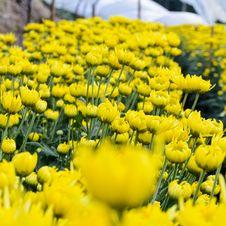 Free Yellow Chrysanthemum Farm Stock Photo - 29627210