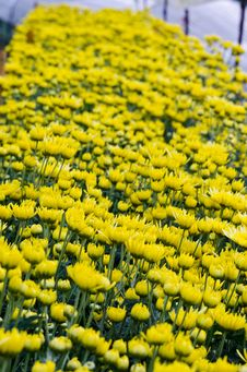 Free Yellow Chrysanthemum Farm Stock Photos - 29627703