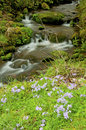 Free A Small Stream Of Whitewater Framed With Little Blue Phlox. Stock Image - 29630801