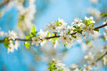 Free White Blossom Of Apple Trees In Springtime Stock Photos - 29639553