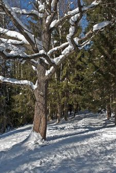 Free Bare Oak In Winter Forest Royalty Free Stock Photography - 29636017