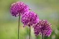 Free Allium Flowers Royalty Free Stock Photo - 29641175