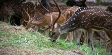 Free Spotted Deers Royalty Free Stock Photos - 29640978