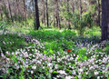 Free Glade Of Wild Cyclamen Stock Images - 29672164
