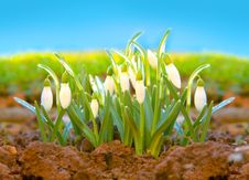 Free Spring Snowdrop  . Royalty Free Stock Images - 29670149