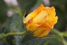 Free Wet Rose Stock Photo - 29671020