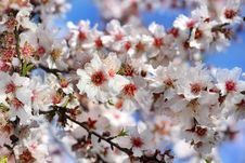 Free Branch Of A Blossoming Peach Stock Images - 29671714