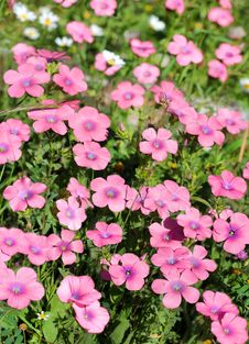 Free Bright Pink Flowers Of The Field Stock Image - 29672071