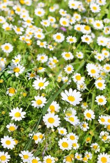 Free Field Of Chamomiles Royalty Free Stock Images - 29672099