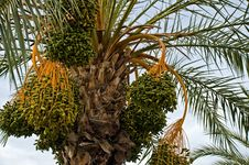 Detail Of Palm Tree With Dates Royalty Free Stock Images