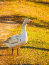 Free Goose Royalty Free Stock Images - 29681319