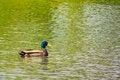 Free Mallard Duck On The Lake Stock Photos - 29681403
