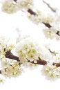 Free Plum Tree Royalty Free Stock Photos - 29685058