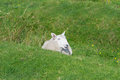 Free Sheep On The Grass Royalty Free Stock Photography - 29688987