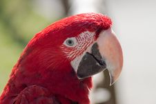 Free Portrait Of A Scarleet Macaw Royalty Free Stock Photography - 29680407