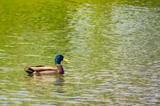 Free Mallard Duck On The Lake Stock Photos - 29681403