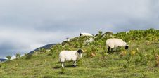 Free Sheep Eating On The Grass, Scotland Stock Images - 29689014