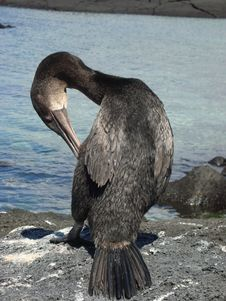 Free Flightless Cormorant Stock Photo - 29689220