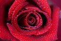 Free Red Rose Royalty Free Stock Photos - 29694818
