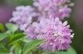 Free Blooming Lilac Bush Royalty Free Stock Photography - 29697987
