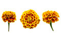 Free French Marigolds Royalty Free Stock Photos - 29698628
