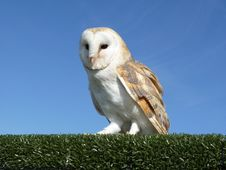 Free Barn Owl On A Hedge Stock Photography - 29694932