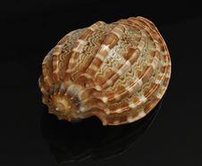 Free Seashell Stock Images - 29695834