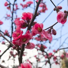 Free Spring Cherry Blossoms In Full Bloom Stock Photos - 29696653
