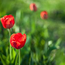 Free Tulip Flower In Full Bloom Royalty Free Stock Photos - 29696688