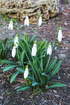 Free Snowdrop Flower In Full Bloom Royalty Free Stock Photo - 29696695