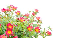 Free Portulaca Royalty Free Stock Images - 29697909